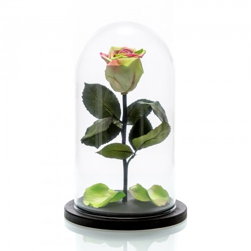 Trandafir criogenat bicolor mediu, verde si roz