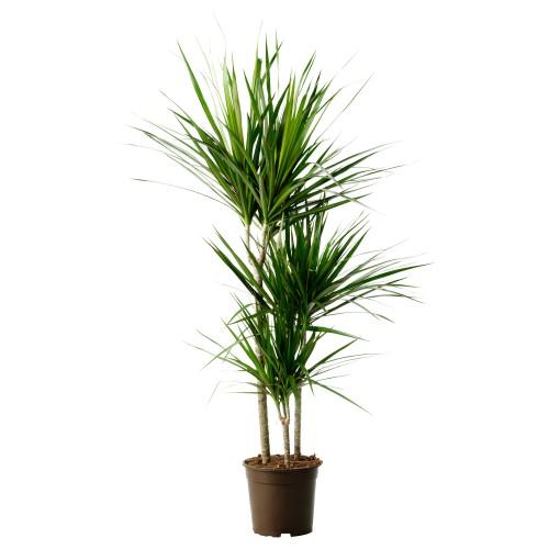 Dracaena Marginata 80cm