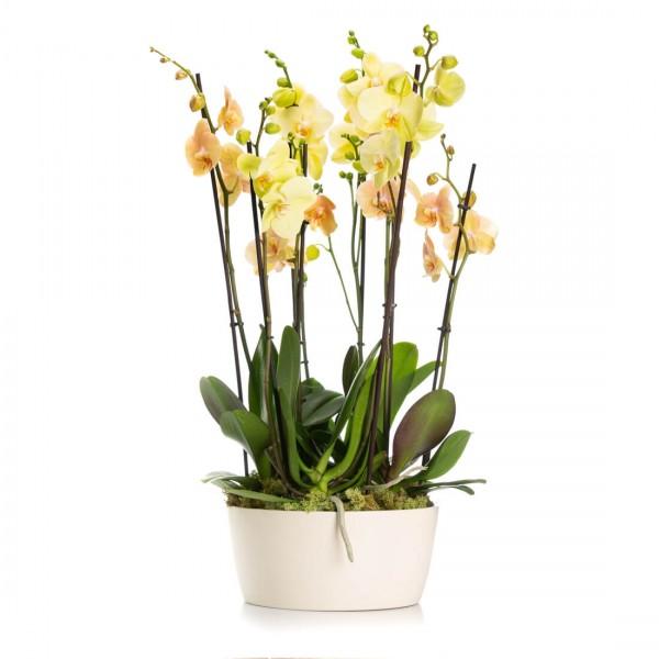 Aranjament Cu Orhidee Phalaenopsis Crem