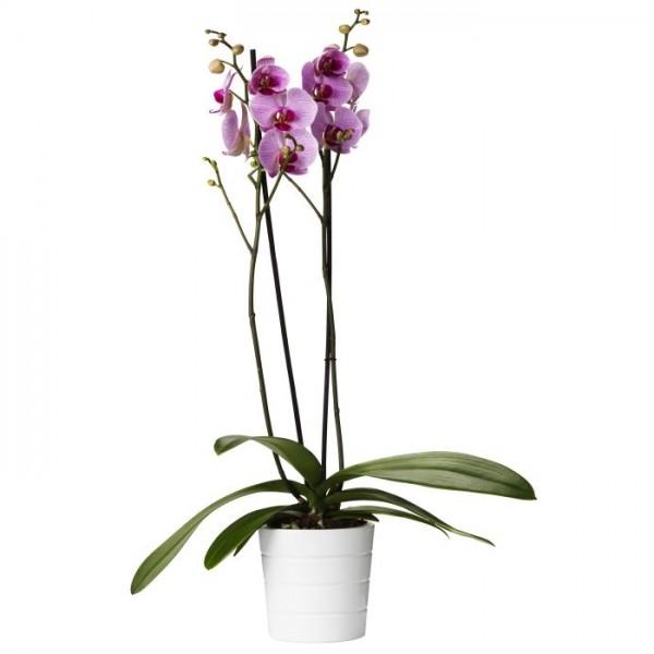 Aranjament Orhidee Phalaenopsis