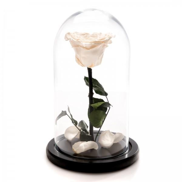 Trandafir Criogenat alb in forma de inima
