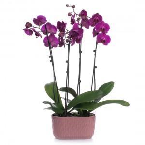 Aranjament Cu Orhidee Phalaenopsis Mov
