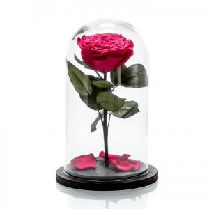 Trandafir criogenat ciclamen