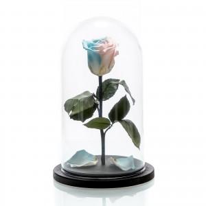 Trandafir criogenat bicolor mediu, albastru si roz