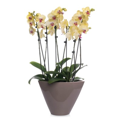 Aranjament Cu Orhidee Phalaenopsis Galben