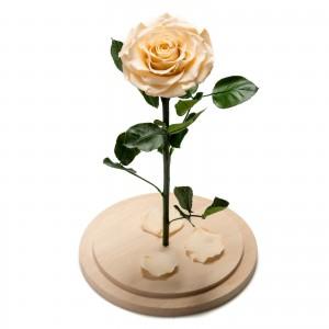 Trandafir criogenat crem in cupola de sticla mare