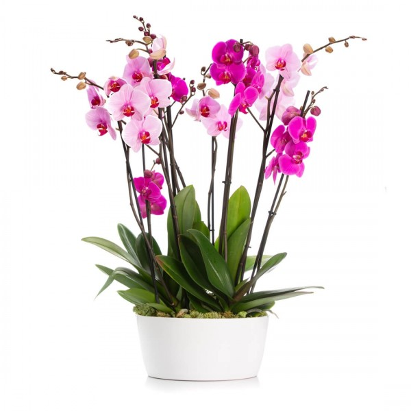 Bicolor Phalaenopsis Orchis in ceramic vase