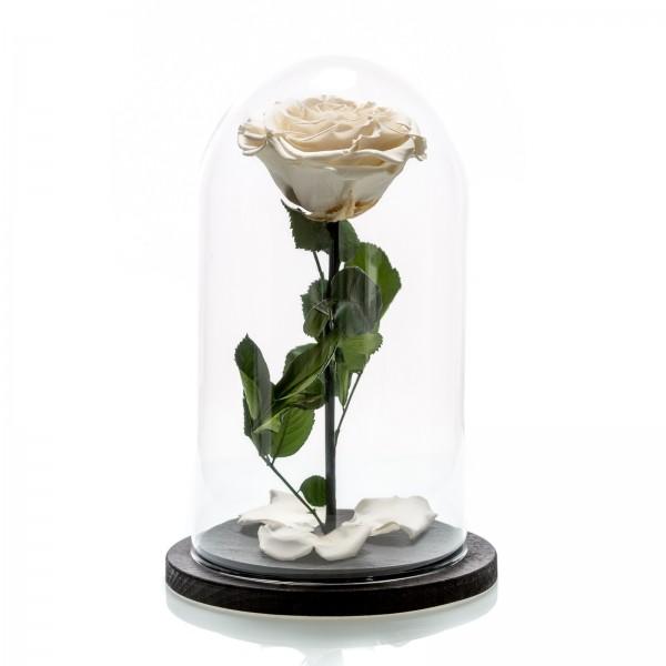 White cryogenic rose