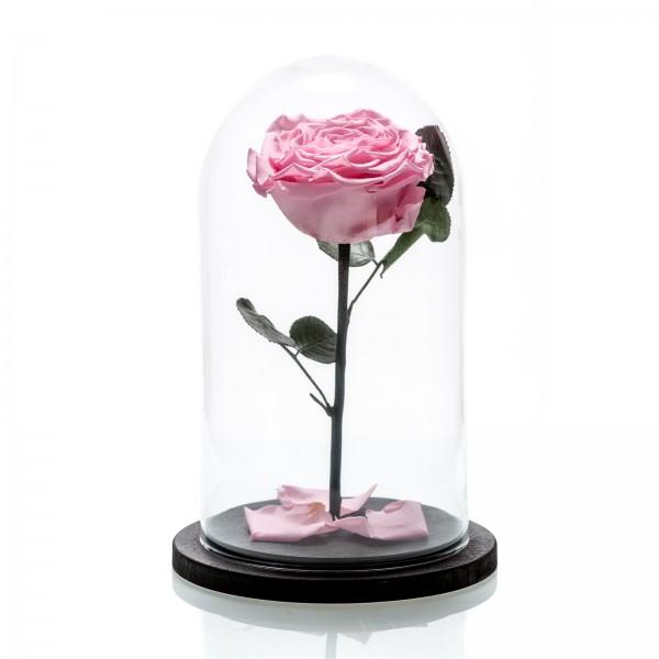 Large pink cryogenic rose