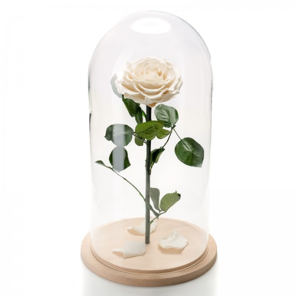 Immortal white rose in large glass dome