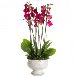Aranjament cu Orhideee Phalaenopsis cyclam