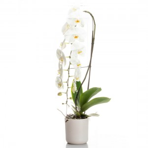 Aranjament cu orhidee phalaenopsis Formidablo
