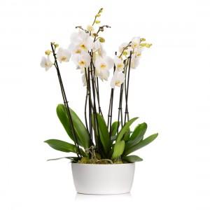 White phalaenopsis orchid in ceramic vase