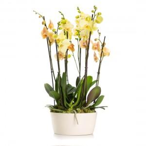 Cream-colored phalaenopsis orchis in ceramic vase