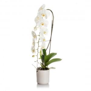 Formidablo phalaenopsis orchid