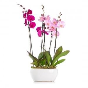 Pink phalaeopsis orchid in ceramic vase