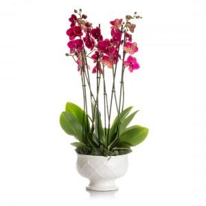 Cyclamen phalaenopsis orchid in ceramic vase