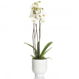 Arrangement Orhidee Phalaenopsis